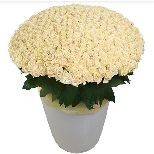 букет 301 біла троянда у великому вазоні фото